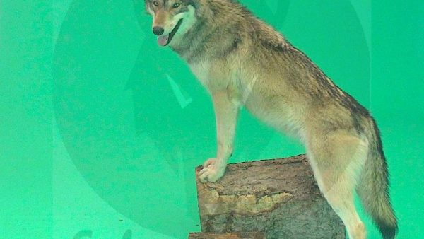 Wolf | Wölfe